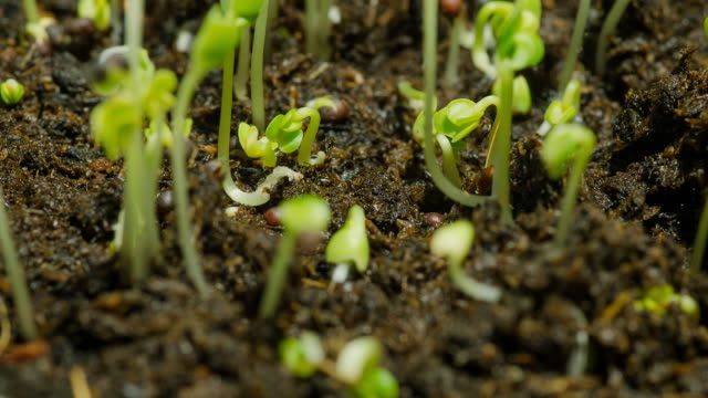 close-up timelapse : green bean sprouts initially grow in soil