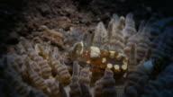 Close-up view of symbiotic Sexy Anemone Shrimp, Indonesia (4K)