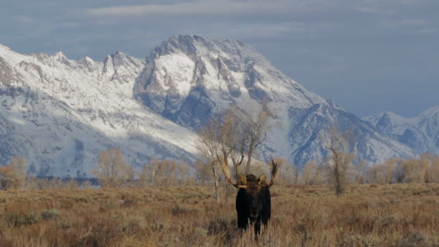 Close-up wide angle shot of a huge bull moose (Alces alces) walking in front of the snow covered mountains