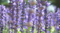 Close-up:Lavenders flowers