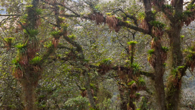 Cloudforest festooned with bromeliads in the Rio Pita Valley near Cotopaxi Volcano, Ecuador