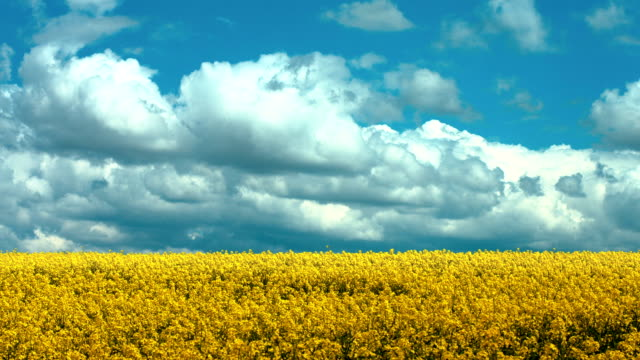 Clouds Over Rapeseed Field (4K/UHD to HD)