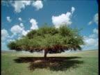 Clouds scud over Acacia tree on savanna