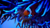 Clownfish swim with anemones underwater