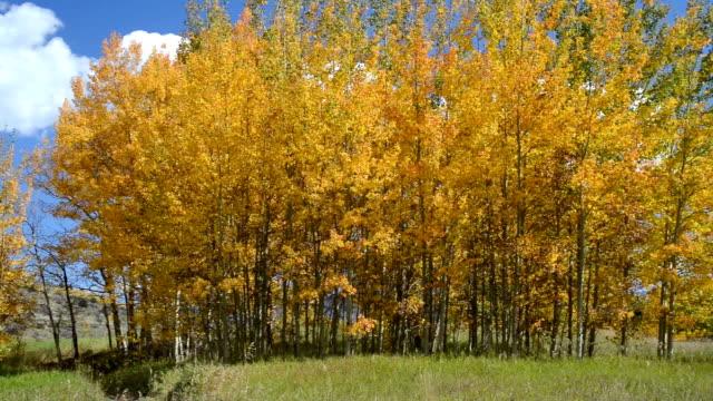 Clump der Bäume in Aspen im Herbst