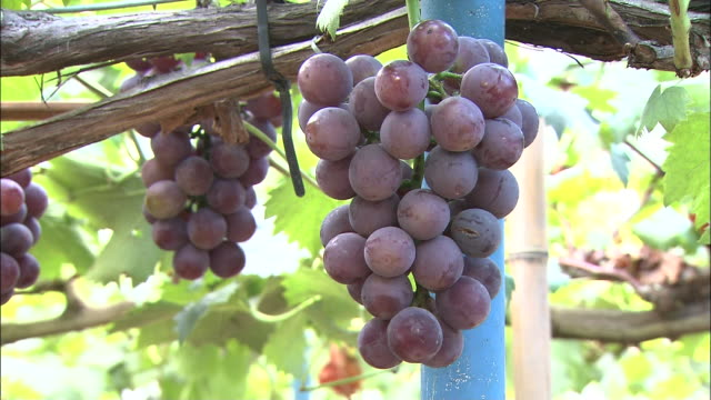 Clusters of purple grapes hang from vines.