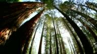 Coast redwood trees (Sequoia sempervirens)