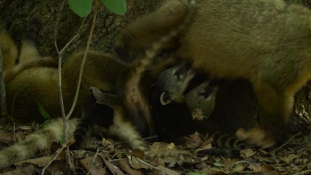 Coati cubs (Nasua nasua) suckle from mother at base of tree.