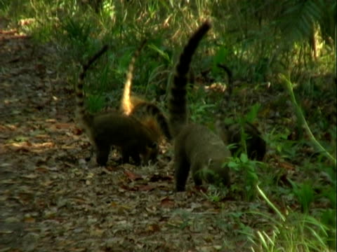 Coatis forage for food in the rainforest.