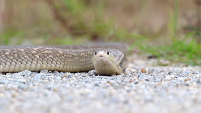 Cobra fierce and aggressive