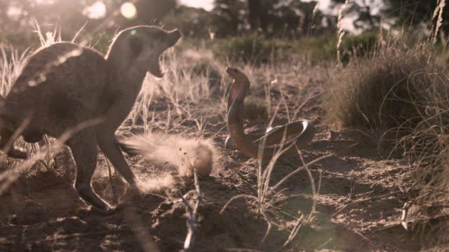 Cobra (Naja nivea) strikes at meerkat (Suricata suricatta) in desert, South Africa