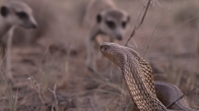 Cobra (Naja nivea) strikes at meerkats (Suricata suricatta) in desert, South Africa