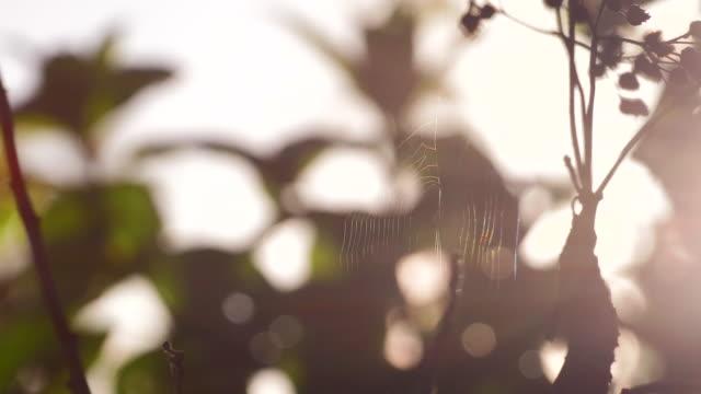 Cobweb and Stinging Nettles