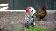 Cock crowing. HD 1080i