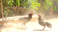 Cock fighting in nature