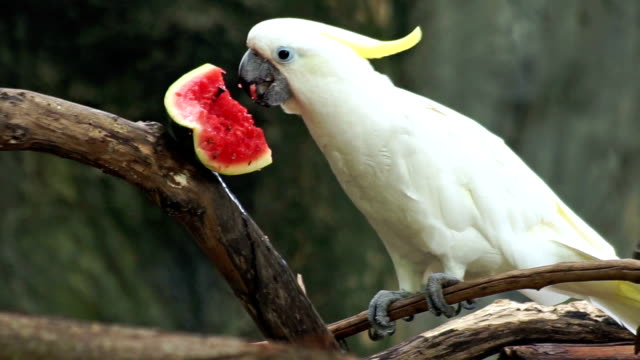 Cockatoo Eating Water melon