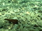 Cockatoo waspfish (Ablabys taenianotus) moves with current on sea floor (cryptic behaviour). Papua New Guinea