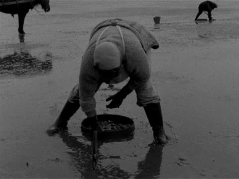 A cockle gatherer digs out cockles from the sand on Penclawdd beach 1959