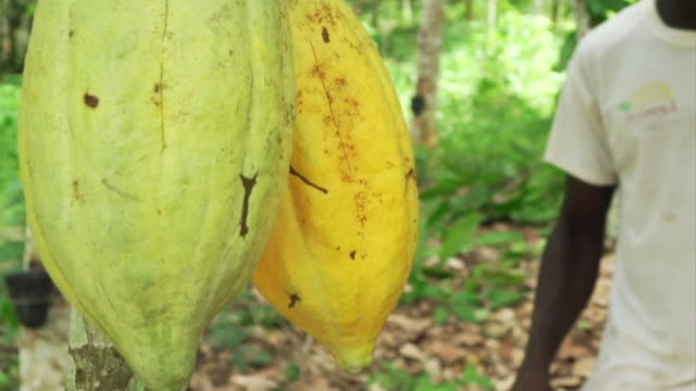 Cocoa pods being cut down in the Ivory Coast