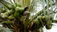 Coconut at Tree