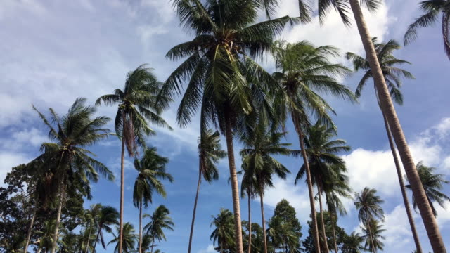 Coconut palm tree  tropical sea at Samui Island