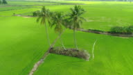 Kokosnuss-Palmen auf Feld Reis