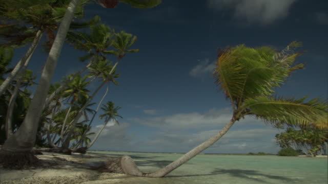 Coconut palms (Cocos nucifera) on tropical coast, Rangiroa, French Polynesia