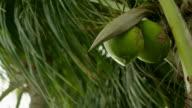 CU coconut tree blowing in the wind