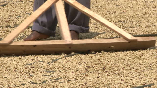 Coffee beans drying in the sun; man manually sorting coffeebeans