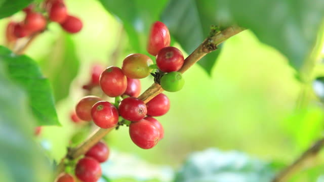 Coffee Beans moving gently in the wind
