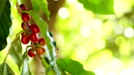 Coffee cherries on branch