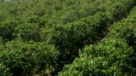 Coffee field plantations in Hawaii