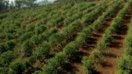Coffee Fields Filmed from a Drone UAV