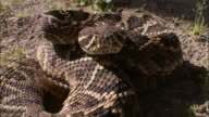 A coiled rattlesnake shakes its rattles.