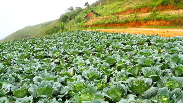 Collard farm