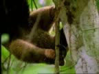 Collared Anteater (Tamandua), CU anteater hanging upside down in tree, feeds on ants, Panama