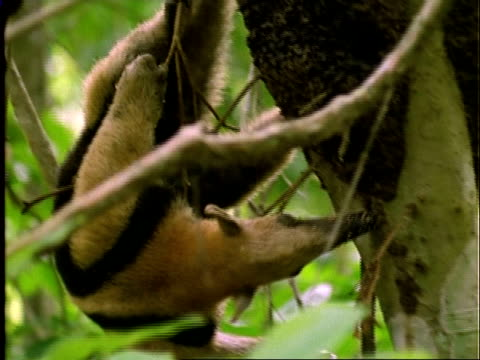 Collared Anteater (Tamandua), CU anteater hanging upside down in tree, feeds on ants . . ., Panama