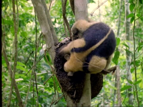 Collared Anteater (Tamandua), MS anteater in tree, raiding ants nest/feeding, zooms in, Panama
