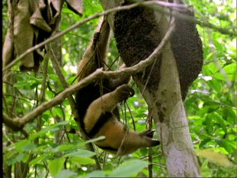 Collared Anteater (Tamandua), MCU anteater in tree, feeds on ants, climbs up tree trunk . . ., Panama