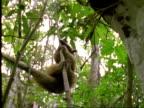 Collared Anteater (Tamandua), MCU anteater looks at camera, climbs tree, ants nest in f/g, Panama