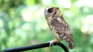 Collared scops owl in the rainforest
