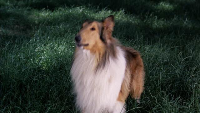 CU Collie dog barking