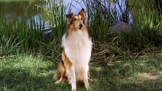 MS Collie dog sitting on lawn