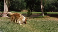 MS Collie dogs running across wide lawn to front of big ranch-style house