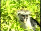 CU Colobus monkey looking worried on ground, Runs off, Zanzibar island