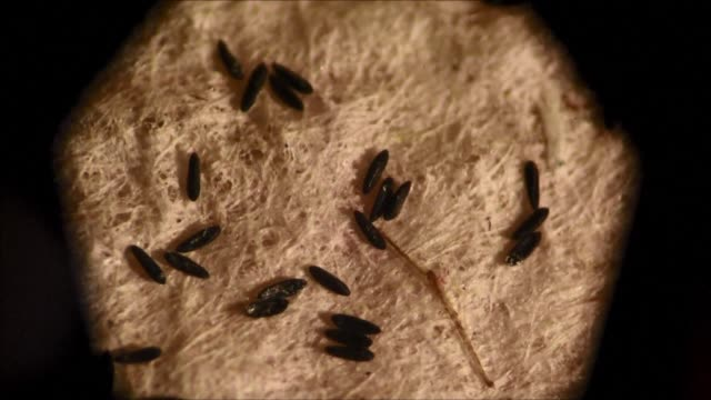 Colombian scientists are currently researching the genetics and biology of the Aedes Aegypti mosquito which carries the Zika virus to control their...