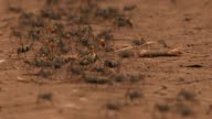 A colony of ants scurries across the ground. Available in HD.