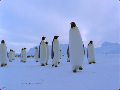 A colony of Emperor penguins waddles across a snowfield.