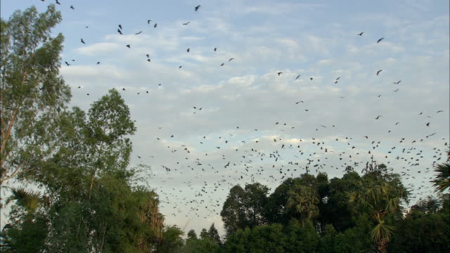 WS Colony of Flying Foxes flying above trees, Cambodia