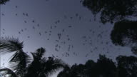 A colony of flying foxes glides above treetops at dusk.